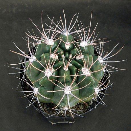 Sany0122--immemoratum--P 83--Bercht seed