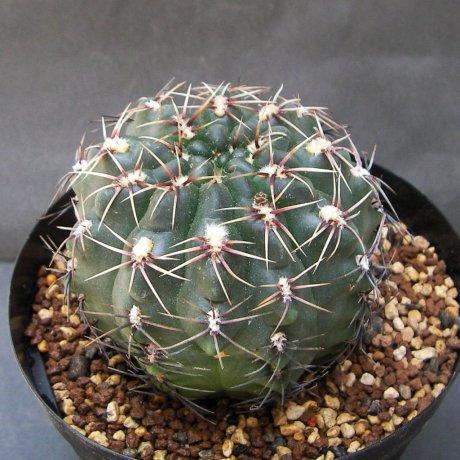 Sany0033--gaponii ( ehemals G. genseri )--B 42--Piltz seed 1019