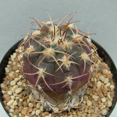 Sany0155--spegazzinii v punillense--VS 79--Mesa seed 489.72