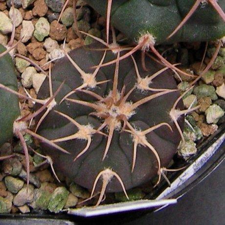 Sany0078--spegazzinii v punillense--Tom 07-305-1--Las Ventanas Cafayate Salta--Kulhanek seed