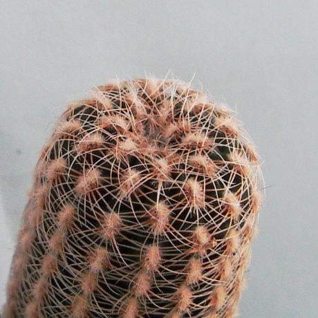 Sany0170--bruchii ssp pawlovskyi--MM 830--R 18 to S Rosa Cordoba--ex Milena