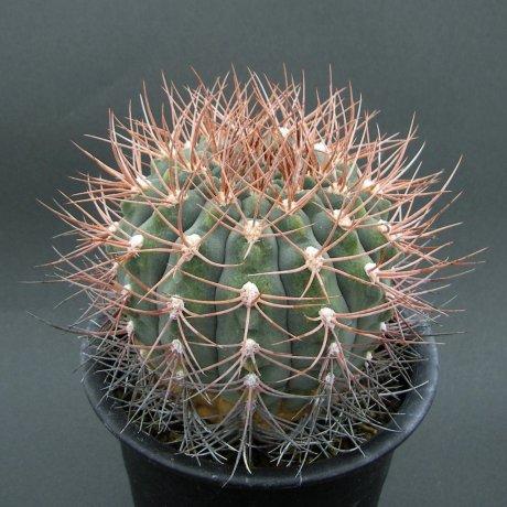 Sany0022--mazanense--P 30---Quebrada de Sebila 1000m LR--Piltz seed 4200