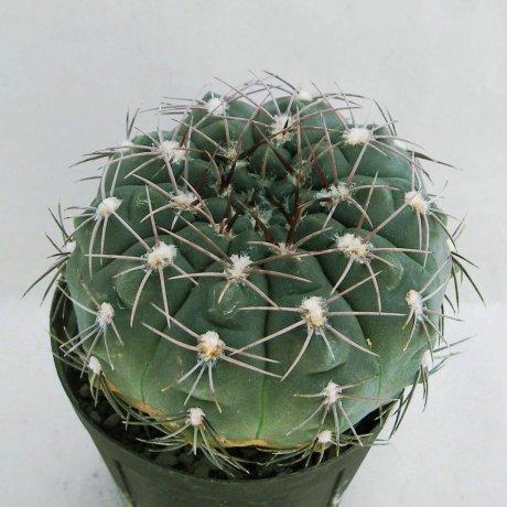 Sany0112--alboaeolatum--P 382A--North of Sanagasta La Rioja--Piltz seed