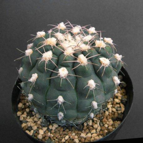Sany0004--alboareolatum--p221--Sanagasta LR 1100m--Koehres seed