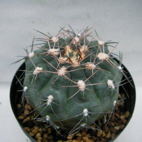 Sany0048--alboareolatum--LB 1296--Pilz seed 3164
