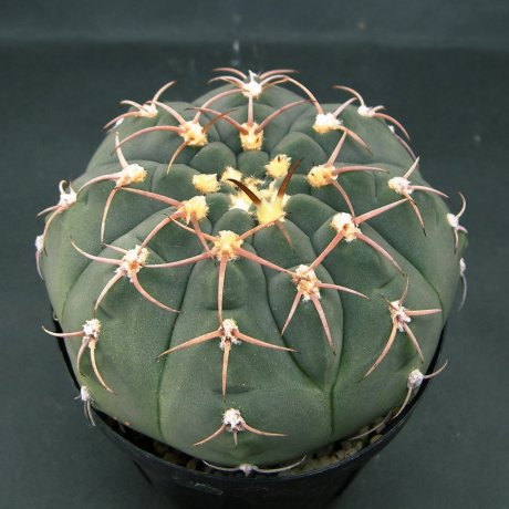 Sany0122--bayrianum--Sierra Ancasti bei El Alto Tucuman--Amerhauser seed(1998)--ex Tutiya