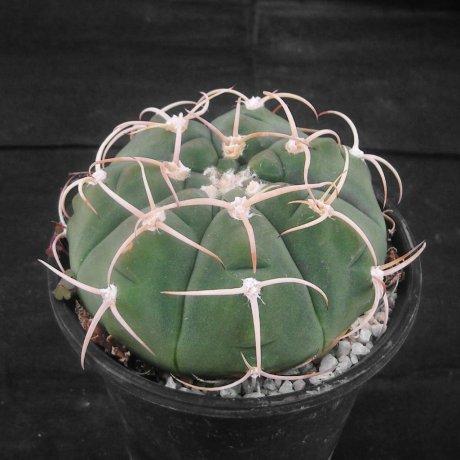 Sany0036--bayrianum--Koehres seed--Kousen en
