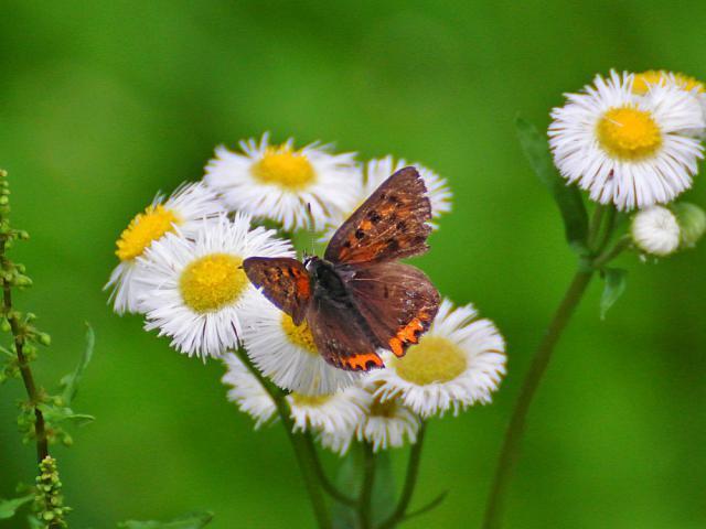 蝶々:クリックして大きな画像で御覧下さい
