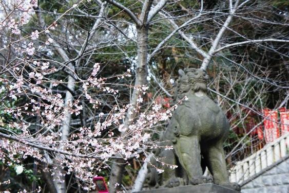 日枝神社の桜①