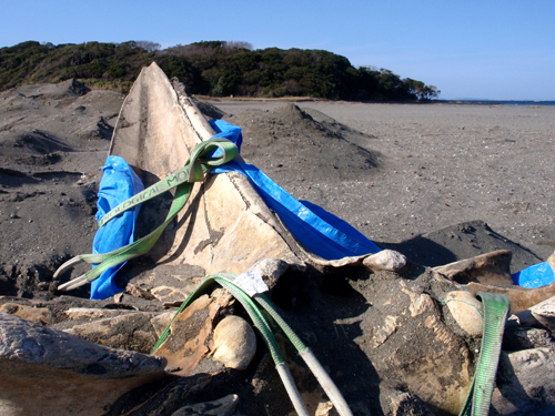 20131127沖ノ島クジラ掘り出し