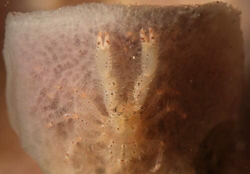 ヒヅメコシオリエビ