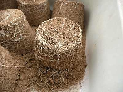 西瓜の根っこにまみれた土
