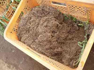 取り除いたカンピョウの根っこ