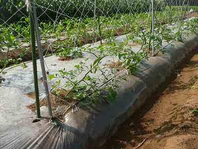 数日後のソバージュ栽培ミニトマト
