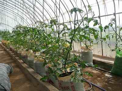 数日後の肥料袋栽培ミニトマト