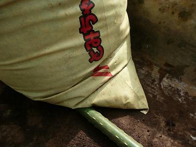 肥料袋栽培ミニトマトの
