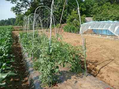 定植から4週間後のミニトマト (ソバージュ栽培)