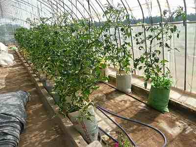 定植から4週間後のミニトマト (肥料袋栽培)