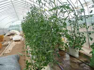 肥料袋栽培のミニトマト