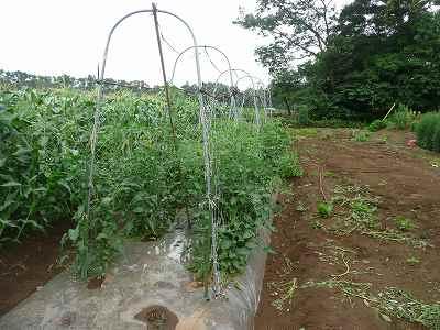 定植から5週間後のミニトマト(ソバージュ栽培)