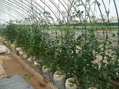 そんな中、順調な肥料袋栽培のミニトマト