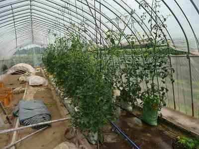 定植から5週とちょっとのミニトマト(肥料袋栽培)