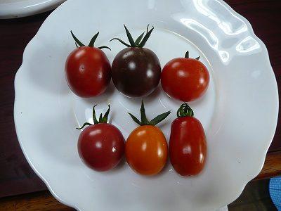 収穫したカラフルミニトマト