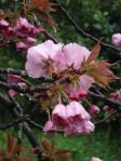 かみあそう駅の八重桜。。