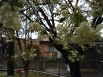 小学校のウコン桜