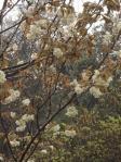 お寺の入り口のウコン桜