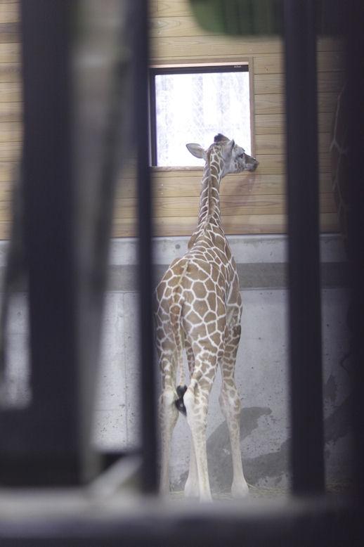 '13.5.19 giraffe baby 0325