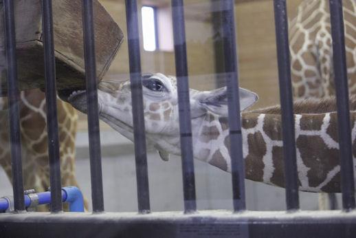 '13.5.19 giraffe baby 0475