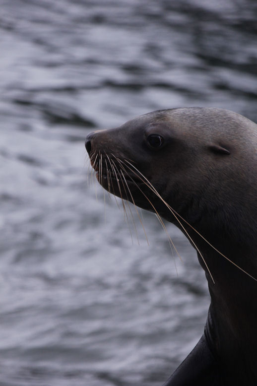 '13.4.19 nothern sea lion 7739