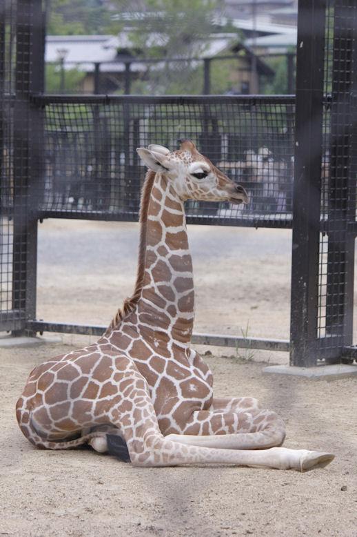 '13.6.9 giraffe baby 0834
