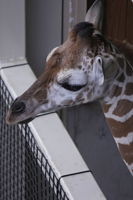 '13.6.22 giraffe baby 0315