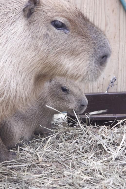 '14.10.10 capybara 0517