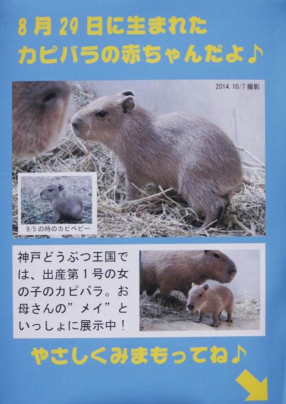 '14.10.10 capybara 0543