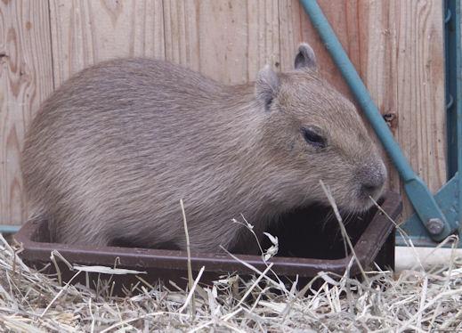 '14.10.10 capybara 0549