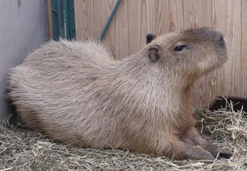 '14.10.10 capybara 9935