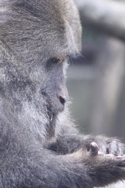 '14.10.23 tibetan macaque 6477
