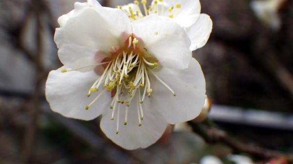 鉢の梅は咲きました。