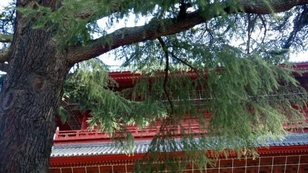 増上寺三門前の グラント松