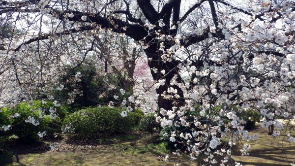 新宿御苑 満開の桜