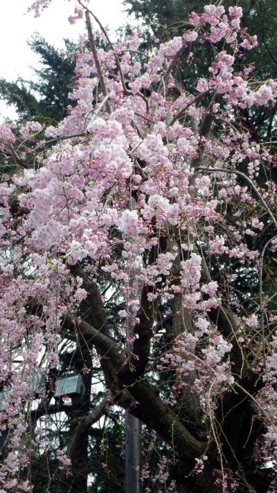 外苑 枝垂れ桜