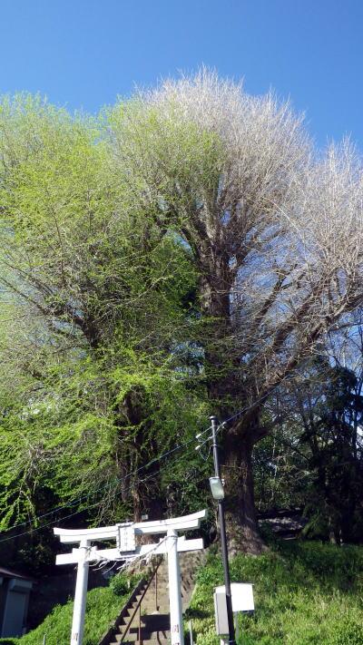 関口 水神社のイチョウの木