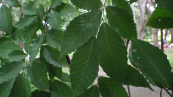 ブナの木の葉