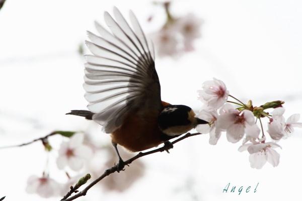 ヤマガラ(201303300353)