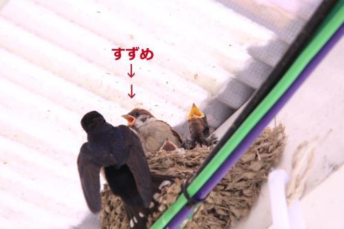 ツバメの巣の中のすずめの雛02
