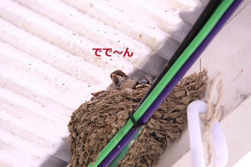 ツバメの巣の中のすずめの雛01