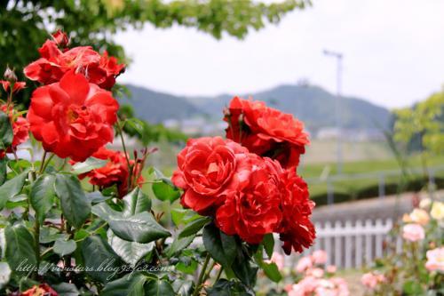 赤いばらと緑の茶畑
